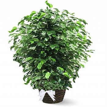 Ficus Daniel