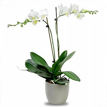Çift dallý orkide
